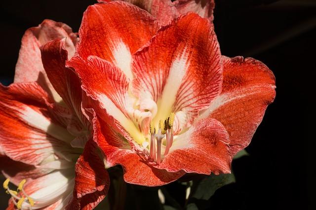 амариллис, красный, белый