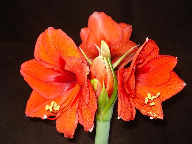 амариллис, красный цветок, красный