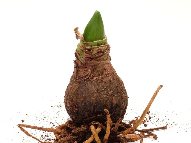 амариллис, завод, корень