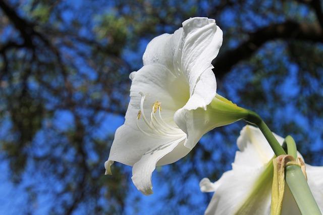 белые амариллис, цветущие луковицы, амариллис