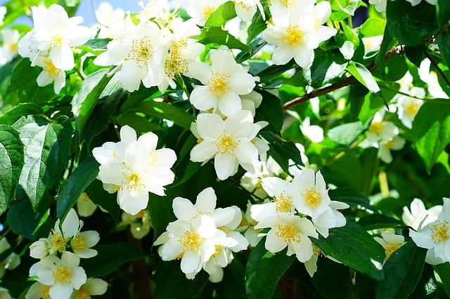 чубушник, жасмин, цветы