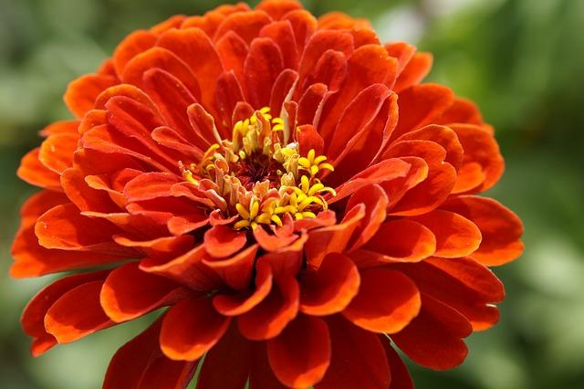 цинния, цвести, цветок