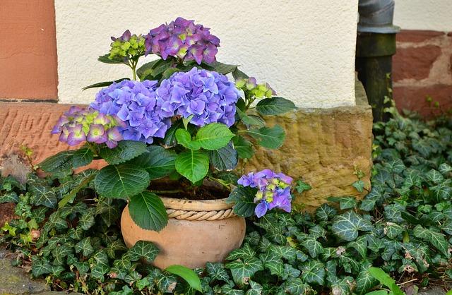 цветочный горшок, гортензий, растения для патио