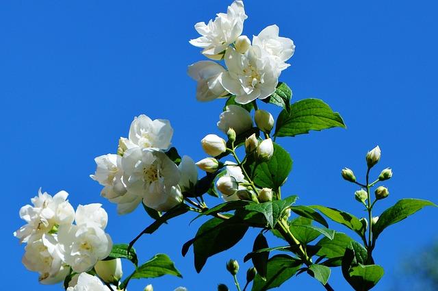 цветок, белый, жасмин