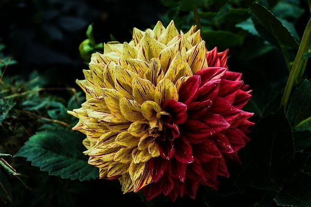 цветок, георгин, цветник