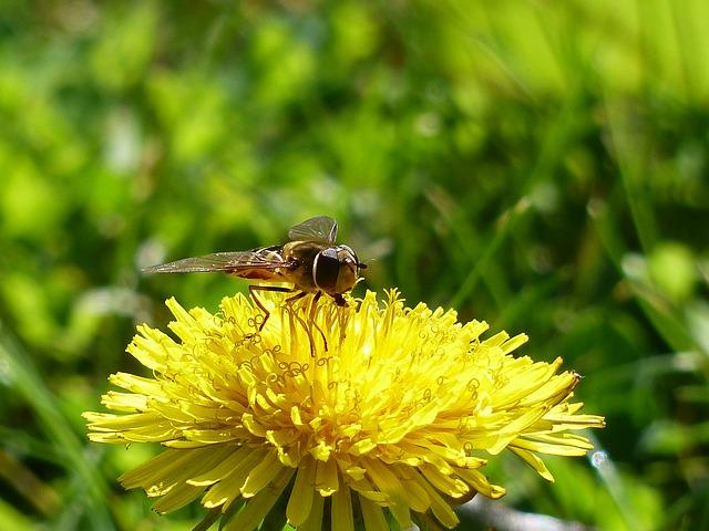 цветок муха, журчалки, syrphid муха