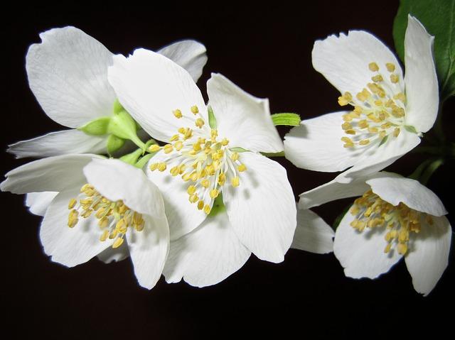 цветок, жасмин, куст