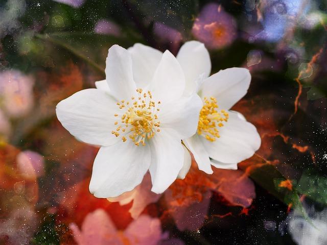 цветы, жасмин, чубушник