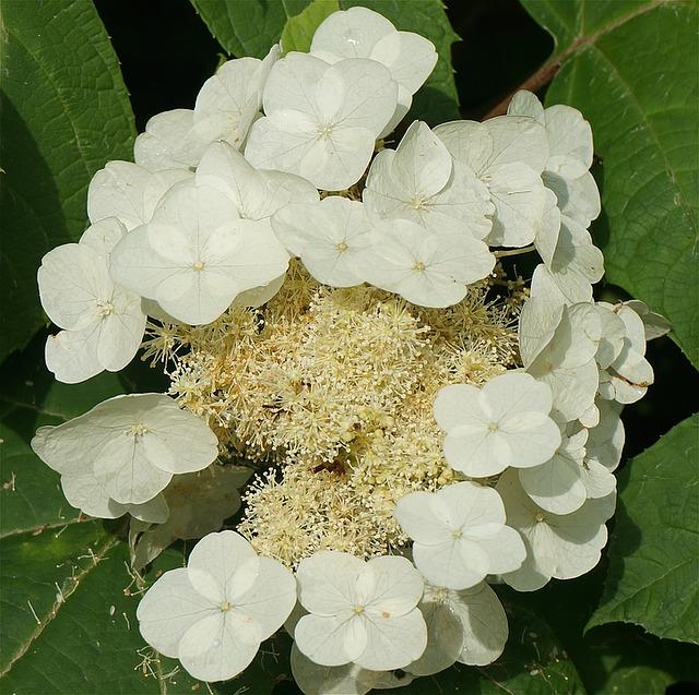 дубовый лист гортензия, гортензия, сверху вниз