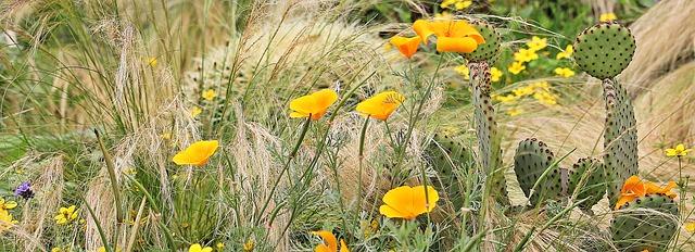 eschscholzia californica, золотой мак, сонный