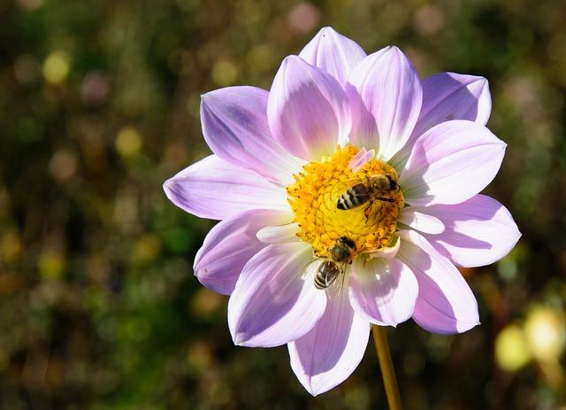 георгин, цветок, цвести