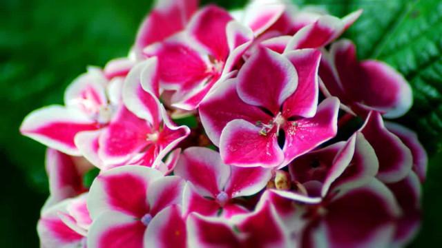 Почему не цветут мои гортензии