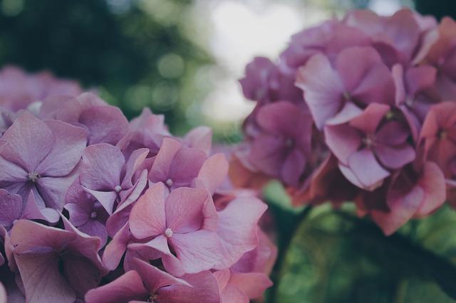 гортензия, цветок, цветочный