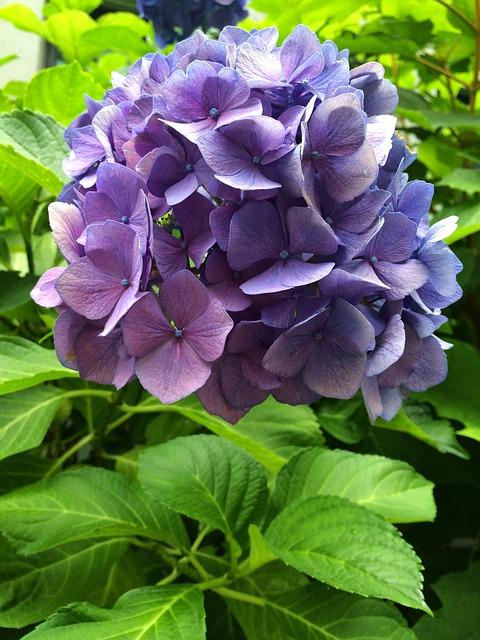 гортензия, пурпурный, цвести