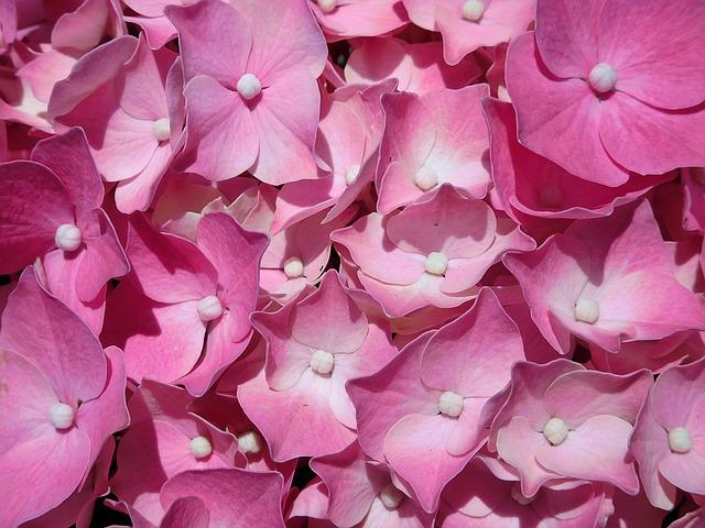 гортензия, розовые гортензии, завод