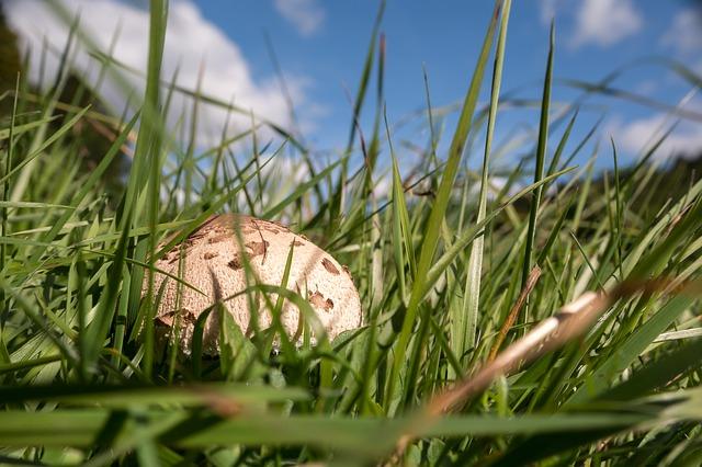 гриб, осенью, зонтик