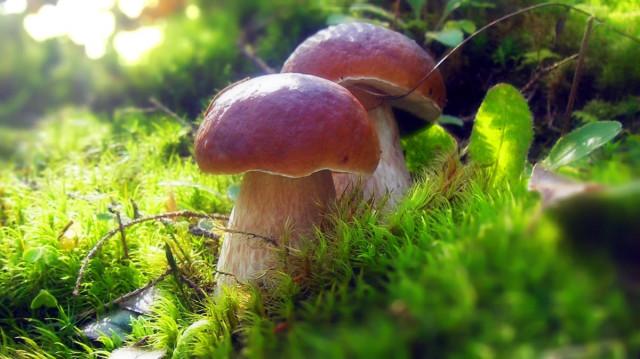 Как посеять грибы у себя на участке?
