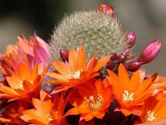 кактус, florir, цветок кактуса