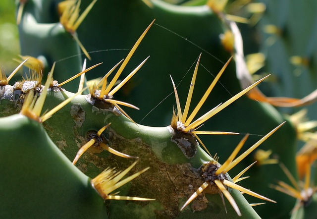 кактусы, лист кактуса, завод