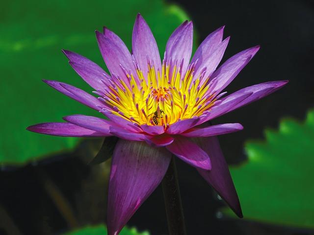 кувшинка, цветок, пруд