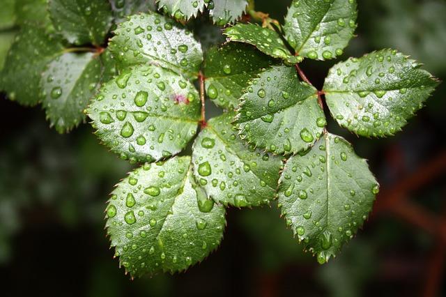 лист, роза лист, капля воды