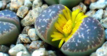 """Литопсы: как выращивать """"живые камни"""""""