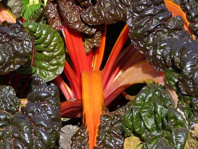 мангольд, красочный, овощи