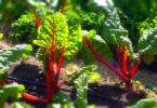Как выращивать мангольд