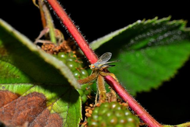 муха, стеблевая малинная галлица, вредители