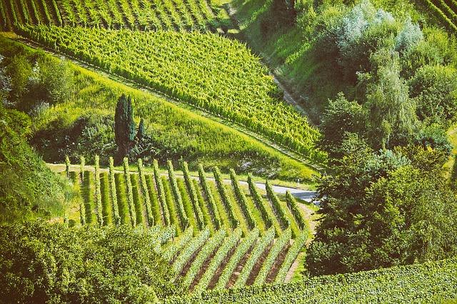 пейзаж, лето, виноград