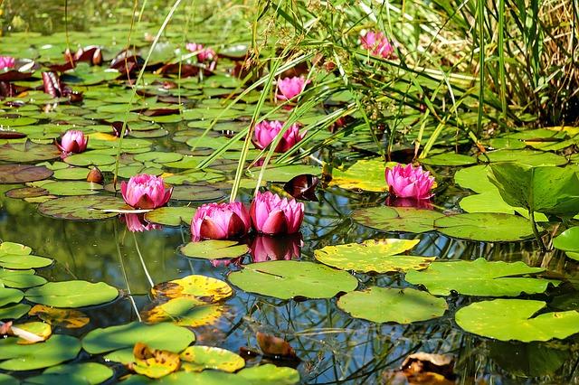 пруд, воды, водяные лилии