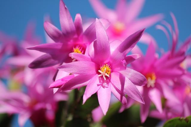 рождественский кактус, зигокактус, цветы