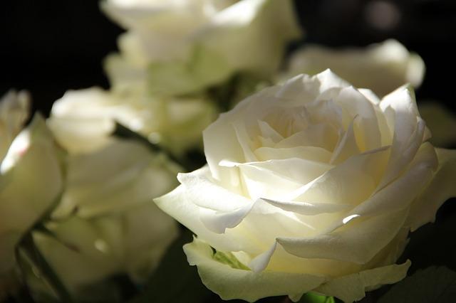 розы, цветы, путь из роз