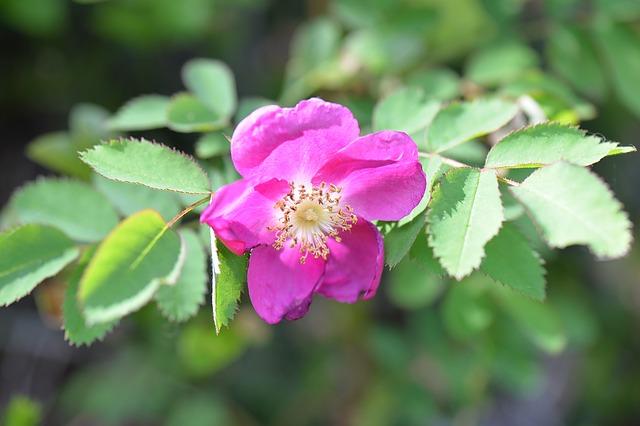 шиповник, цвести, листья