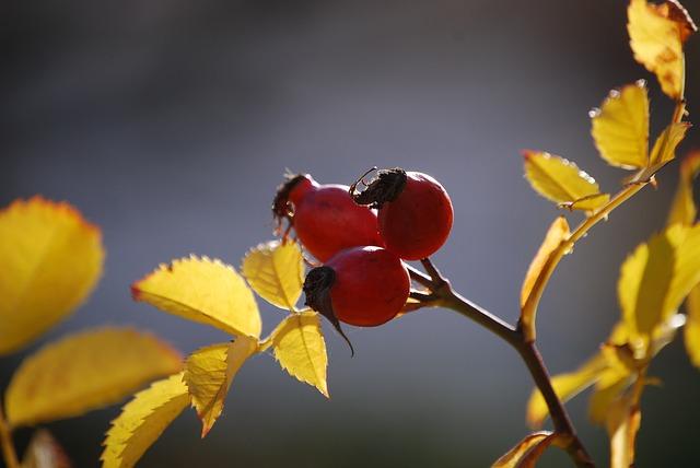 шиповник, осенью, осенние фрукты