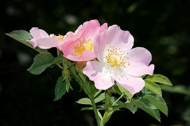 шиповник, роуз буш, цвести