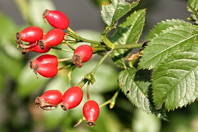 шиповник, роза яблоки, роуз парниковых