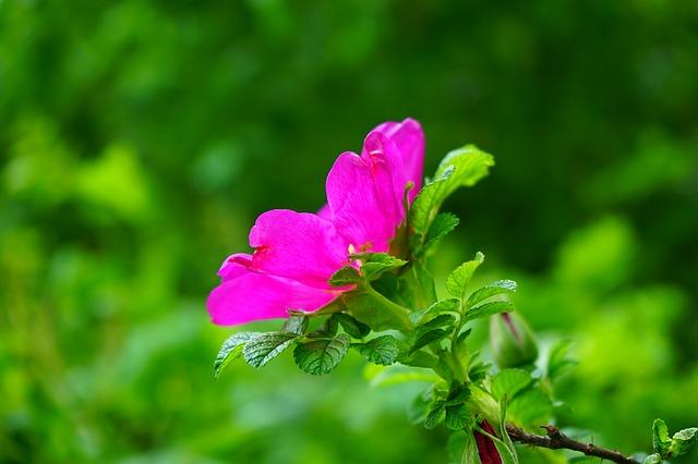 шиповник, розы цвести, цвести
