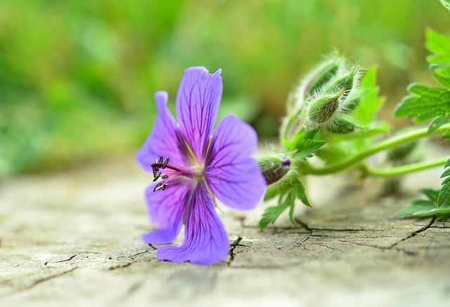 storchschnabel, цвести, цветник