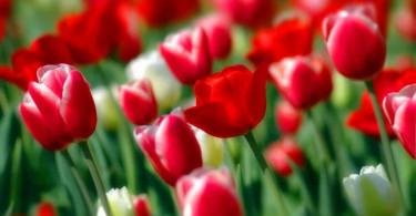 Правила ухода за многоцветковыми тюльпанами
