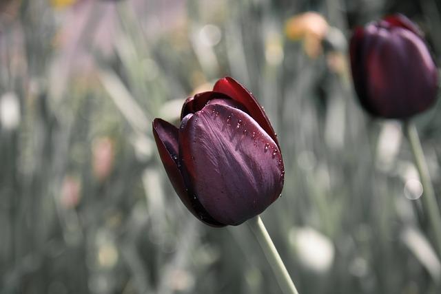 тюльпан, цветок, капать