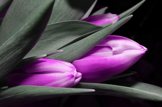 тюльпан, фиолетовый, цветок