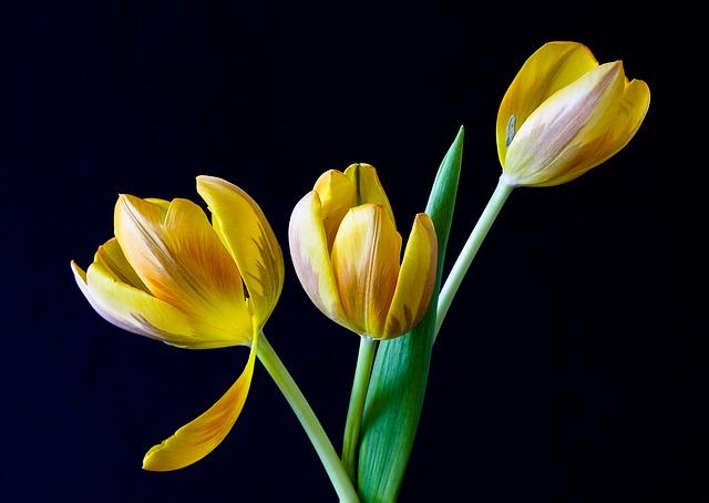 тюльпан, весна, цветы