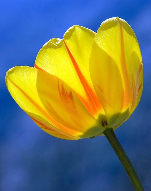 тюльпан, жёлтый, весна