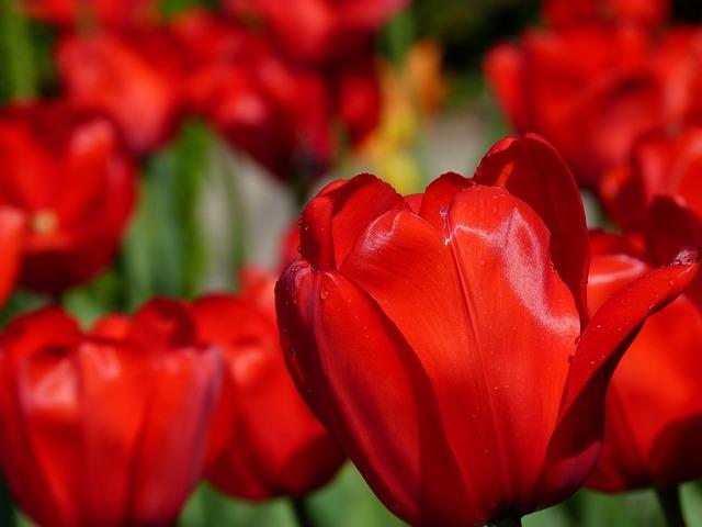 тюльпаны, цветок, природы