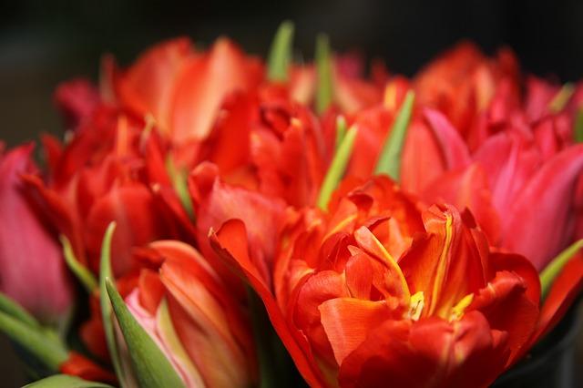тюльпаны, цветы, красный