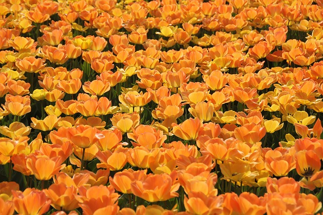 тюльпаны, голландия, tulip областях