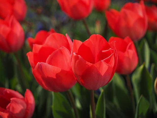 тюльпаны, красный, цветы