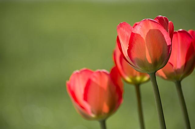 тюльпаны, красный, красные тюльпаны
