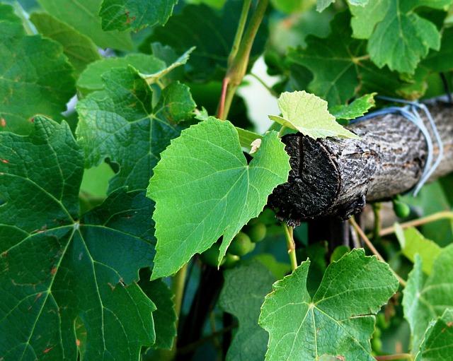 виноград, лоза, листья